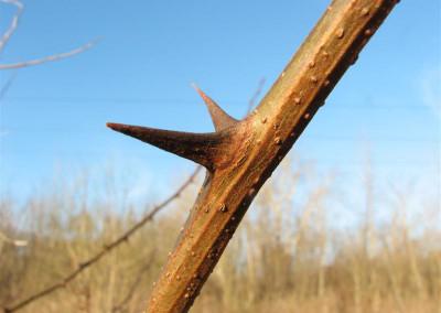 thorn 1
